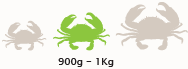 Medium Mud Crab Size
